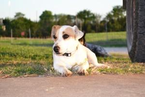 One of our Jack Russell's.  His name is Toby.